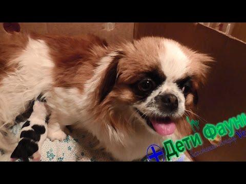 Роды у собаки (часть 2). Помощь при нормальных родах. Советы ветеринара