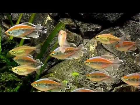 Congo Tetras (Phenacogrammus interruptus)