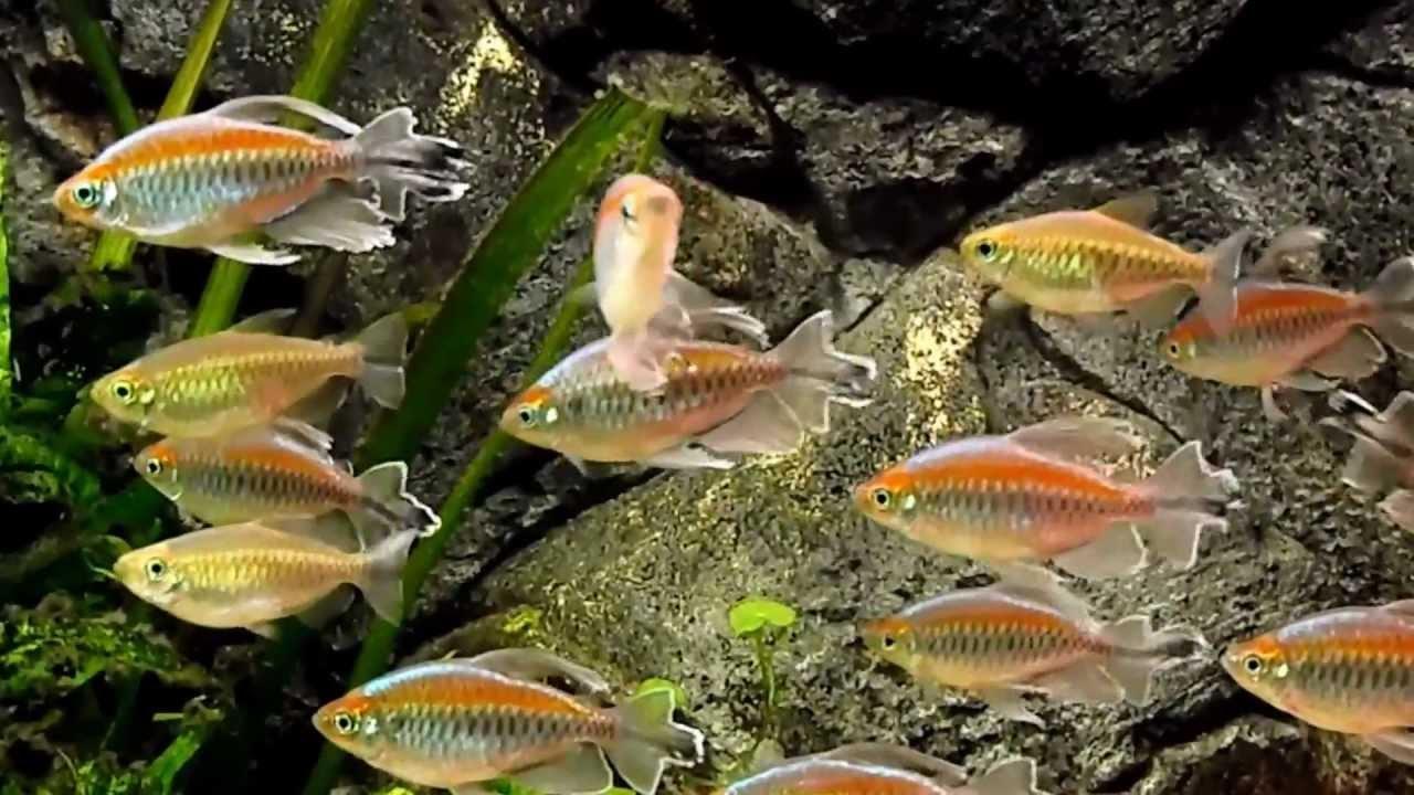 Congo Tetras (Phenacogrammus interruptus) - YouTube