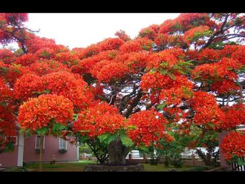 Arbol de fuego youtube for Arbol de fuego jardin