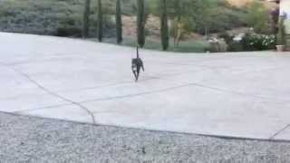 Pit Bull Orange County Aggressive Dog Training-learning To Play Nicely