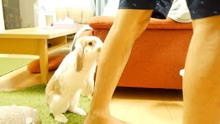 ウサギがブーブー鳴いて追いかけてきた うさぎの鳴き声 thumbnail
