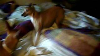 Italian Greyhound And Miniature Pinscher/chihuahua Mix Playing