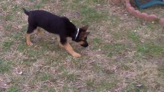 German Shepherd & Miniature Pinscher Puppies