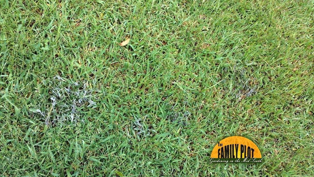 Q A How Do I Get Rid Of This Grey Fungus In My Lawn Youtube