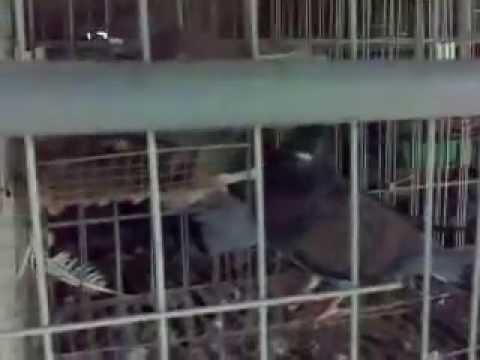 Trang trại nuôi Chim Bồ Câu CƯỜNG LOAN