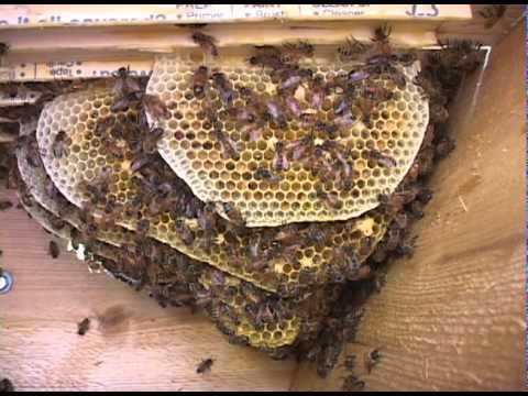 Russian Honey Bees - 5/21/2011 - YouTube - photo#25