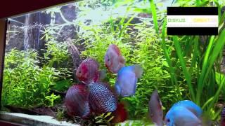 Stendker Diskusfische über 1 Jahr im Kundenaquarium begleitet...