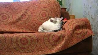 Тайская кошка ложится на кота ( + музыка)