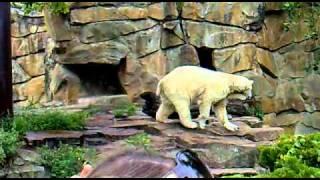 Knut the ice bear