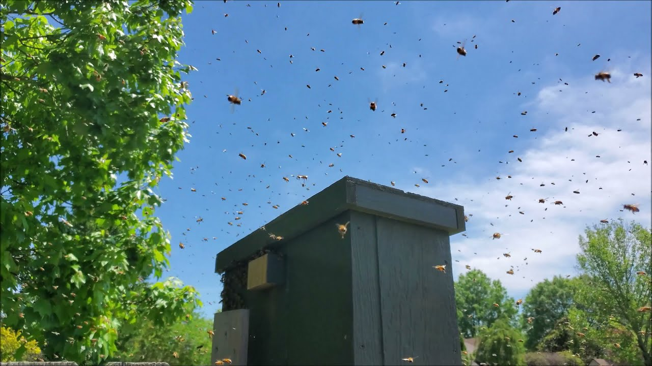 A swarm is moving in!  This is an amazing thing to get to witness.  Especially when it's unexpected