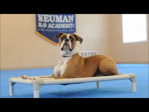 Dawg (Boxer) Dog Training Video Demonstration