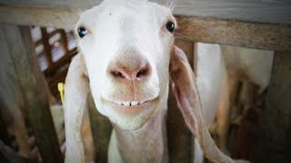 Funny Goats 🐐  Funny and Cute Goats (Part 1) [Funny Pets]