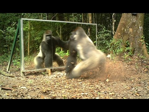 This Silverback thinks this intruder in the mirror (his own reflection) comes to steal his wives