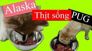 Thử cho Alaska Sam và Pug Bư ăn thịt bò sống và cái kết =)) Dog Eat Raw Food - PUGK PET