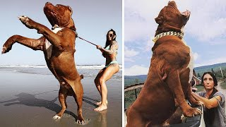 10 Largest And Most Powerful Dogs In The World