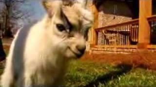 BeeBee Goats!