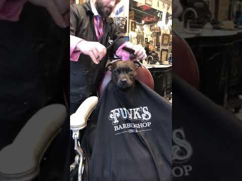 VIP Dog in a Barbershop