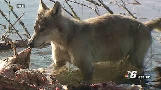 Sen. McBroom joins WLUC to talk wolf management bill