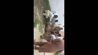 Download Video Angry qurbani 2018 2k18 buner kp Pakistan MP3 3GP MP4