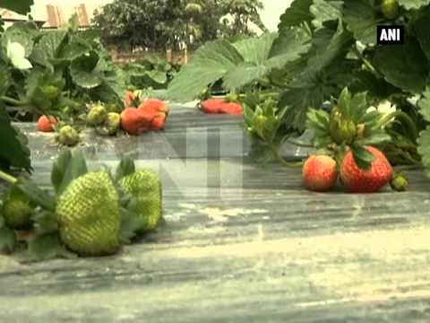 Strawberry farming proves to be a big hit in West Bengal
