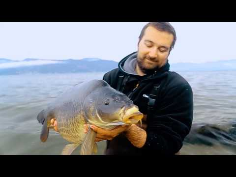Release of a common carp in huge lake - RAW VIDEO