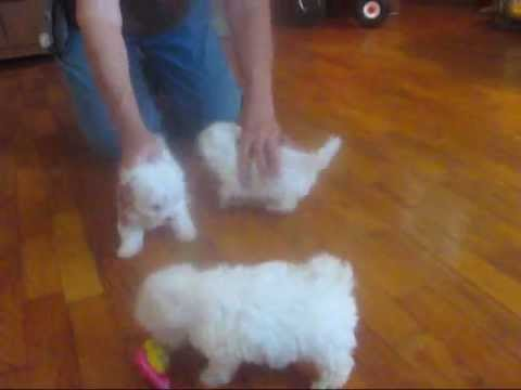 Maltese puppies for sale, maltese breeders, maltese puppies tiny little teacup puppies from YouTube · Duration:  2 minutes 2 seconds