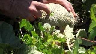 Muskmelons (Cantaloupes) | Indiana Berry