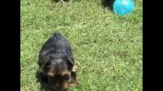 Teacup Yorkies Emma, Olivia, Ava And Jayden Are For Sale