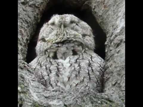screech owl trilling - youtube