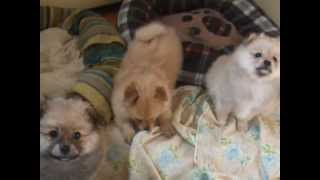 My 6wks Old Pomeranian Babies Discover Their Voices.avi