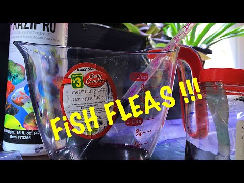 Fish Flukes Parasites : Signs/treatment