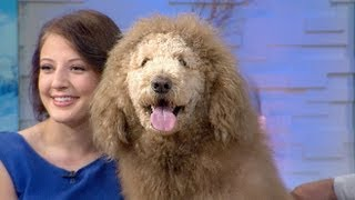 Labradoodle Mistaken For Lion, Prompts 911 Calls | Cute Animals (episode 6)