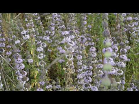 Amazing Herbs - Pennyroyal