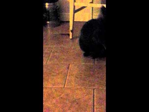 Talkative korat cat