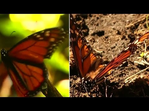 Watch | Butterfly season picks up in Mexico