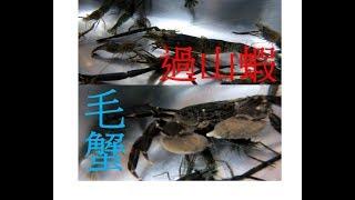 到「宜蘭」抓溪蝦,竟意外抓到『毛蟹』和『過山蝦』!!