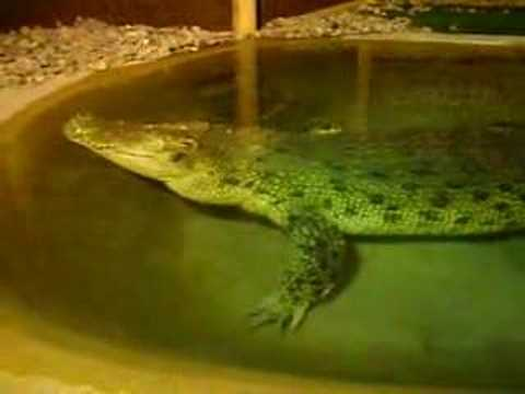 Massive Crocodile Or Alligator Reptile Garden South Dakota Youtube
