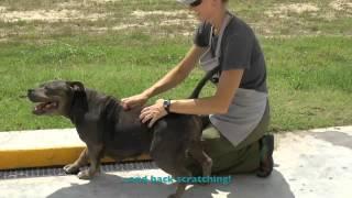 Sapphire - Blue Staffordshire Bull Terrier Mix