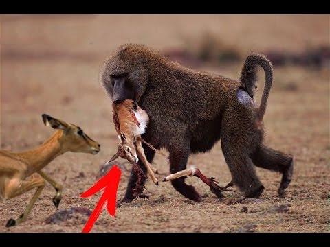 Вопрос: Почему миниатюрную антилопу назвали дик-дик?