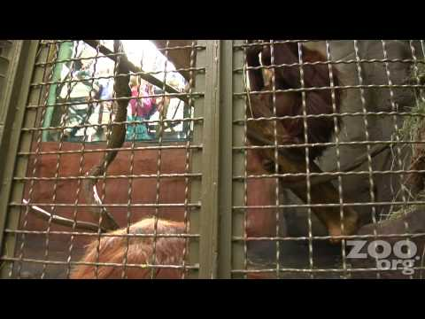 Orangutan Towan Paints at Woodland Park Zoo, HD