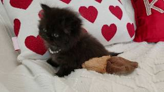 Black Persian Kitten playing with her toy - heartwarming video;)