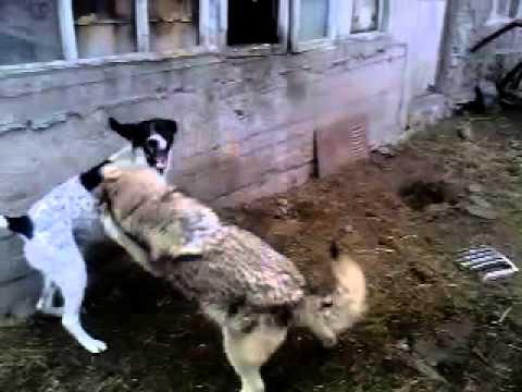 Wolf and dog / Волк и собака