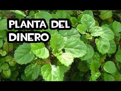 Como reproducir la planta del dinero muy facil youtube - Plantas para atraer el dinero ...