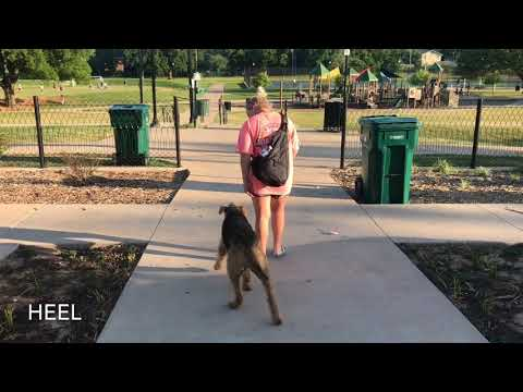 2 Year Old Airedale Terrier | Best Airedale Dog Training | Off Leash K9 | Board and Train | Oklahoma