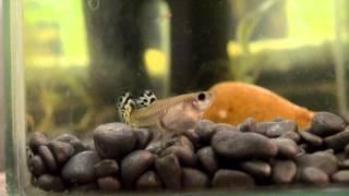рыбка рожает