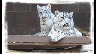 Снежный барс. Кошачьи нежности