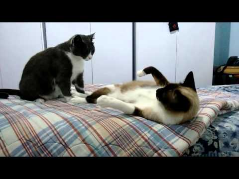 Tuxedo mama cat playing rough with her daughter - part 4