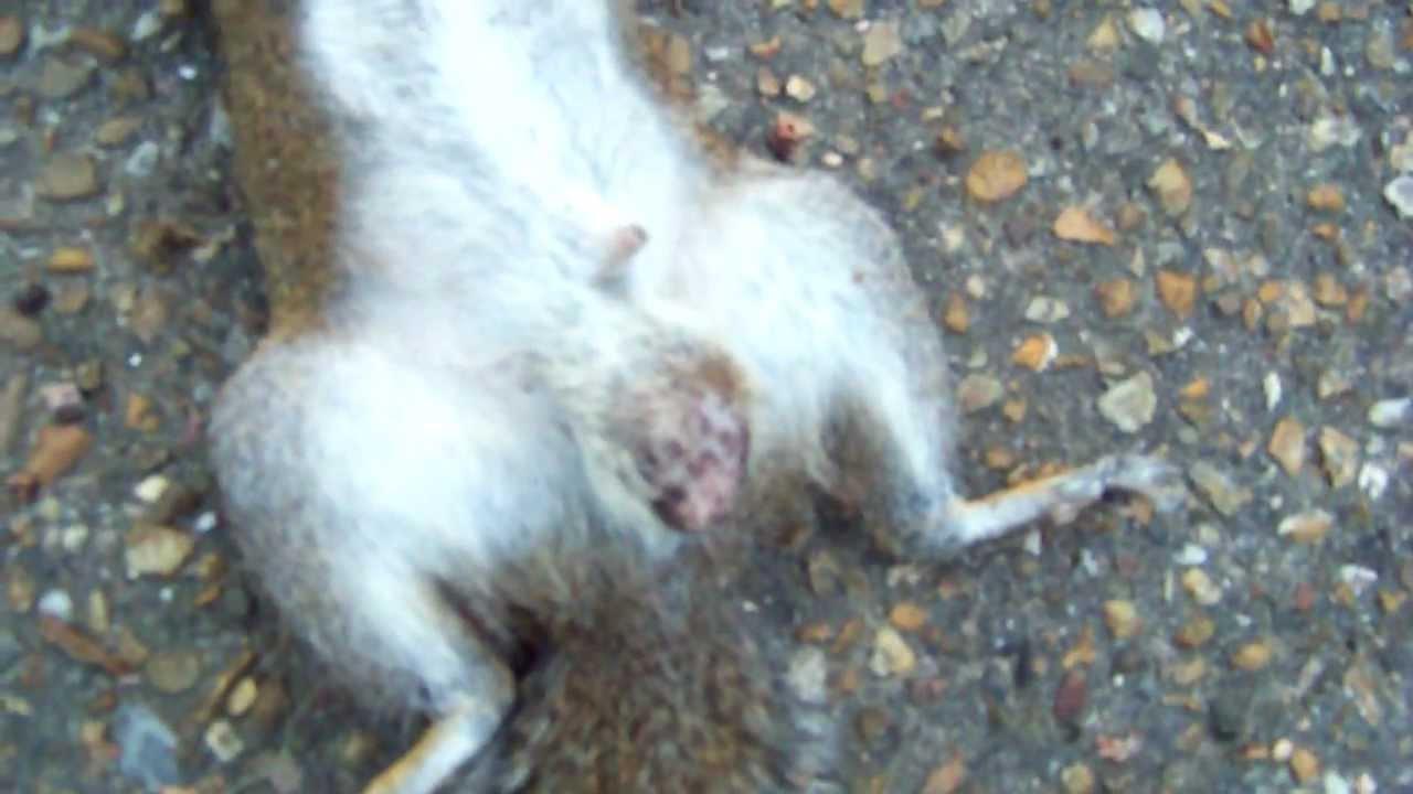 Squirrels Penis 75