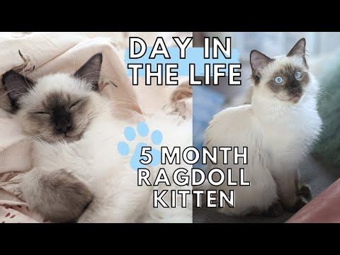 Day in the Life of a Ragdoll Kitten! (5 MONTHS OLD)  Ep. 2